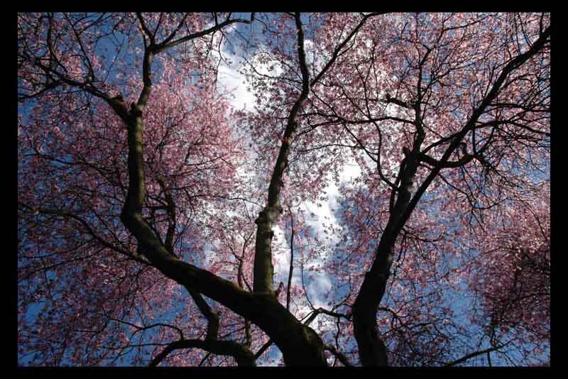http://alireza001199.persiangig.com/image/shabe-sher/spring-tree.jpg
