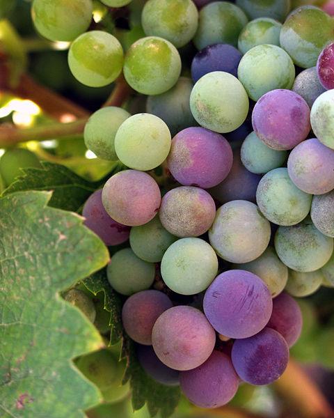 http://alireza001199.persiangig.com/image/shabe-sher/wine-grapes.jpg